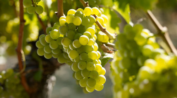 Sauvignon_blanc-Delor_Reserve_blanc-Vin_Bordeaux-952x650