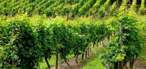 Cépages de vins bio