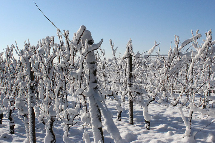 Vignes sous la neige et dégustations de vins