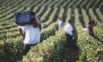 dégustation de vins et cours d'œnologie : Les vendanges