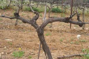 Dégustations de vins et cours d'oenologie : La taille en cordon de Royat