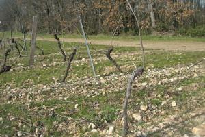 Dégustations de vins et cours d'oenologie : Taille en Guyot à Gaillac