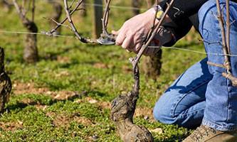 dégustation vin cours œnologie : la taille de la vigne