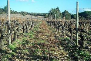 Dégustation de vins et cours d'œnologie : la taille en gobelet