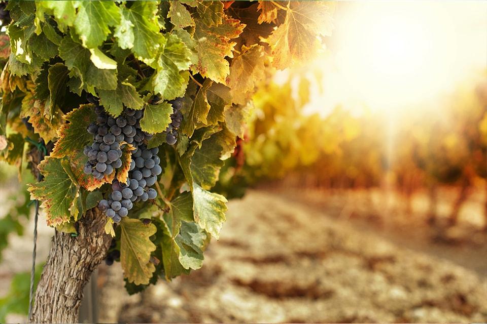 Grappe de raisin de l'AOC Fleurie