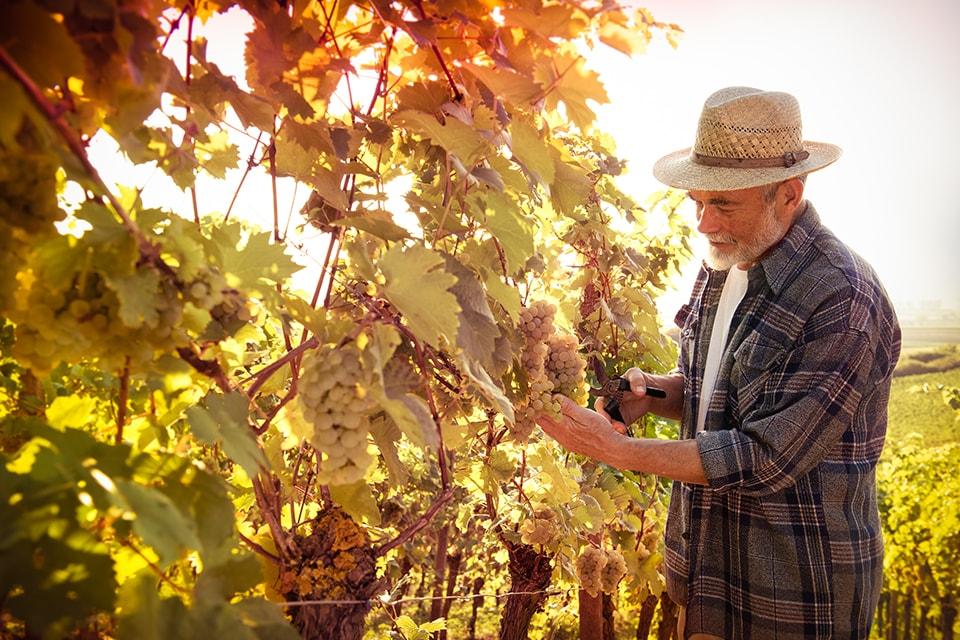 Sélection des raisins pour les vendanges