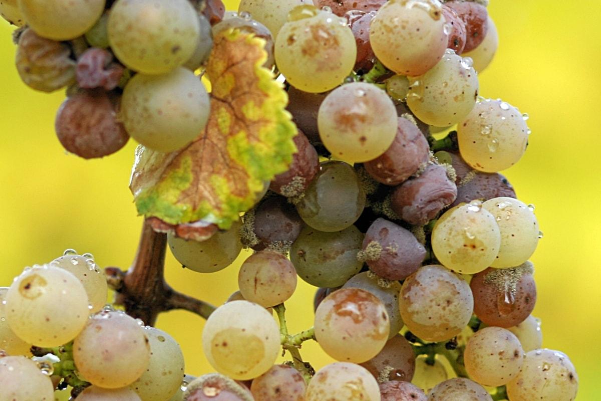 vins moelleux -Le riesling d'Alsace, vendangé à sur-maturité