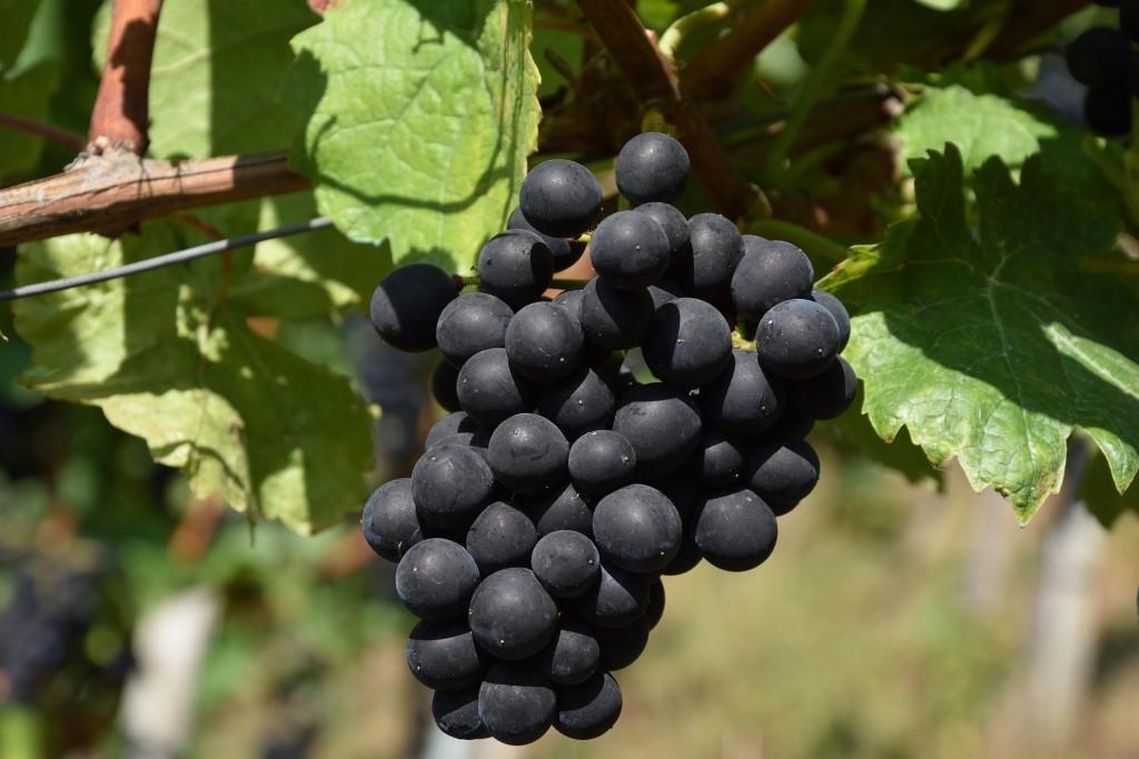 Les arômes primaires du vin : Raisins