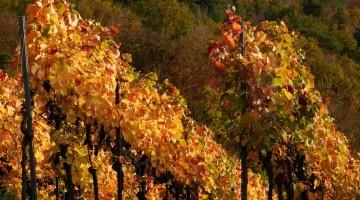 syrah : plats d'automnes