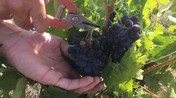 vendanges : coup de sécateurs dans les vignes
